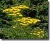 Candomble ervas Cambuí amarelo